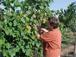 Learn grapes from planting to harvest