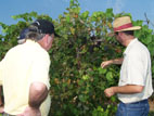 Grape research at Cimarron Valley Research Station, Perkins