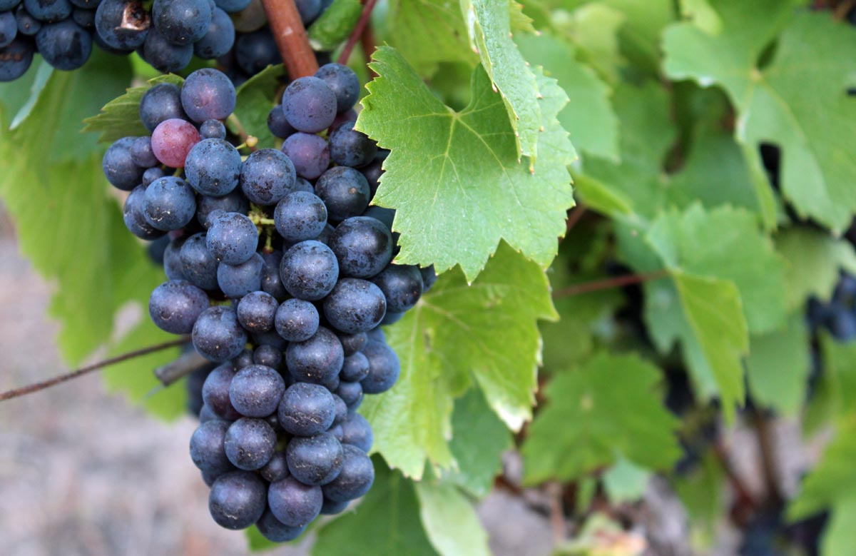 Second Advanced Viticulture and Enology Training Workshop slated for July 11